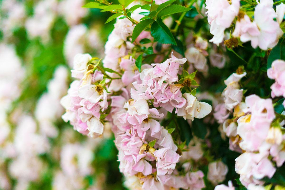 荒牧バラ公園に咲くバラ6月中旬までが見頃