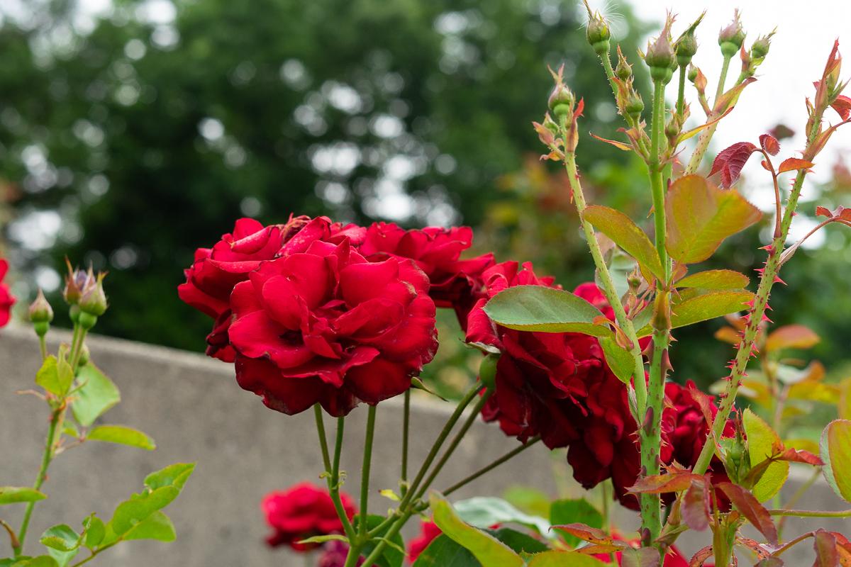 荒牧バラ公園のバラ。品種はリリーマルレーン