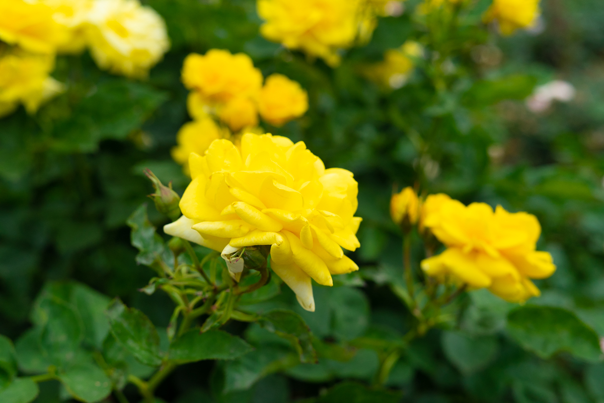 伊丹市生まれのバラ「天津乙女」