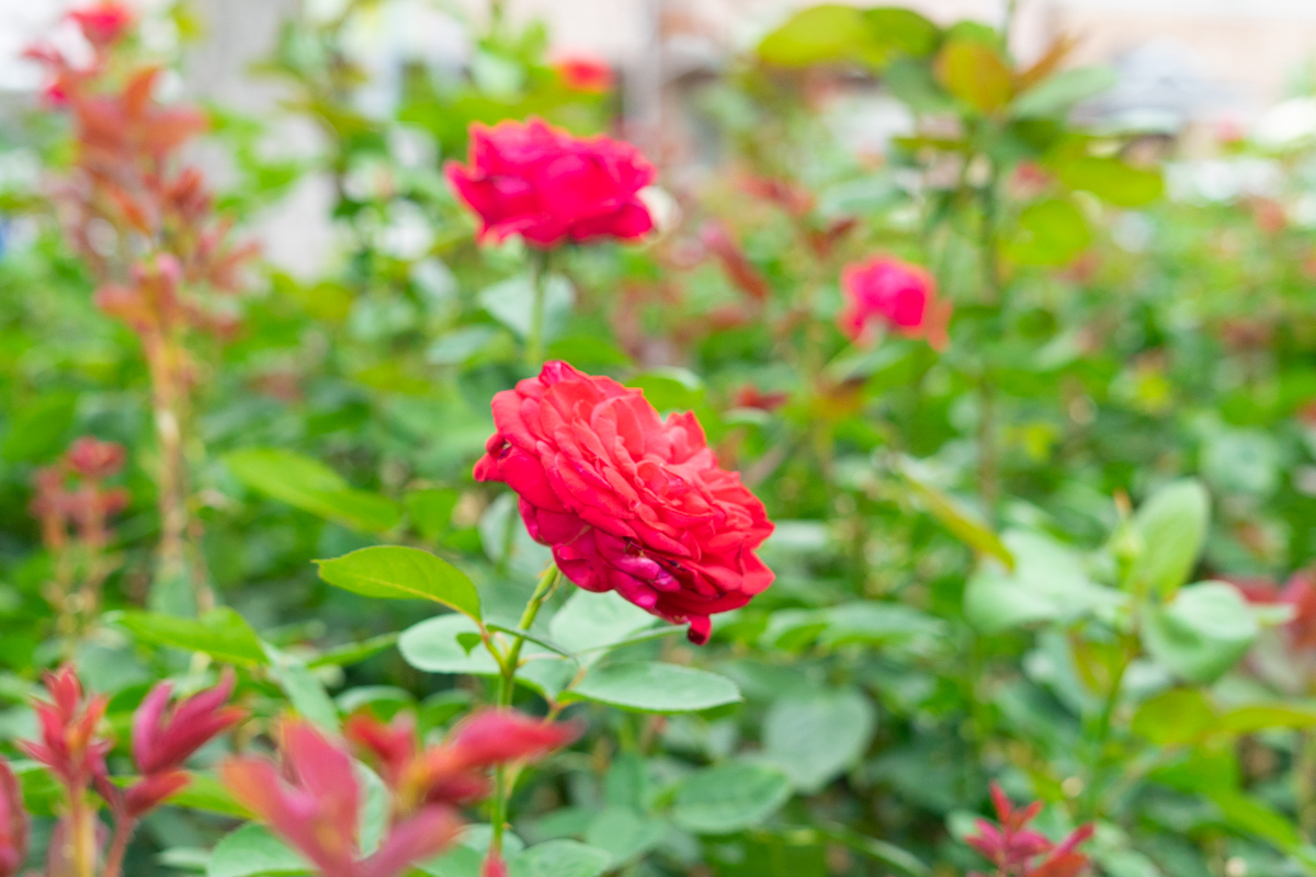 荒牧バラ公園のバラ